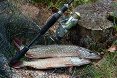 La fin vers le haut de la vue des poissons d'eau douce de brochet se trouve sur l'épuisette avec f Photo stock