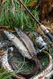 La fin vers le haut de la vue des poissons d'eau douce de brochet se trouve sur l'épuisette avec f Photos stock