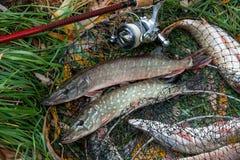 La fin vers le haut de la vue des poissons d'eau douce de brochet se trouve sur l'épuisette avec f Images libres de droits