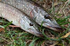 La fin vers le haut de la vue des poissons d'eau douce de brochet se trouve sur l'herbe verte Image stock