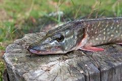 La fin vers le haut de la vue des poissons d'eau douce de brochet se trouve sur un chanvre en bois Images libres de droits