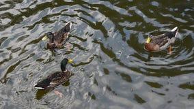 La fin vers le haut des canards de canard nagent rapidement dans l'eau ondulée banque de vidéos