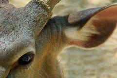 La fin vers le haut des cerfs communs observent et oreille Images libres de droits
