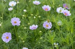 La fin vers le haut des fleurs de bipinnatus de cosmos brillent dans le jardin d'agrément Photo stock