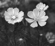 La fin vers le haut des fleurs de bipinnatus de cosmos brillent dans le jardin d'agrément Images stock