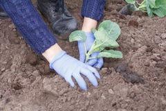 La fin vers le haut des mains de jardinier féminin plante la graine de chou commun image stock