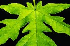 La fin vers le haut des photos des feuilles de papaye sont verte photo libre de droits