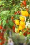 La fin vers le haut des tomates-cerises jaunes accrochent sur l'élevage d'arbres Photos libres de droits