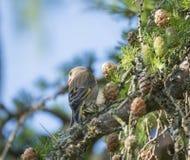 La fin vers le haut du chloris européen masculin de Chloris de verdier se repose sur la branche d'un arbre de mélèze et de picote photo libre de droits