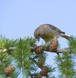 La fin vers le haut du chloris européen masculin de Chloris de verdier se repose sur la branche d'un arbre de mélèze et de picote image stock