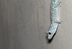 La fin vers le haut du gecko de Tokay est sur le mur photos libres de droits