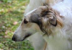 La fin vers le haut du portrait du barzoï russe blanc de chien photographie stock libre de droits