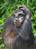 La fin vers le haut du portrait du bonobo femelle, cachant le visage dans des pattes, dans l'habitat naturel Fond naturel vert Photos stock