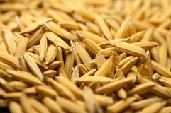 La fin vers le haut du riz non-décortiqué a pour ne pas écosser  Diffusion du riz de jasmin de paddy pour sécher au soleil la Tha Photographie stock