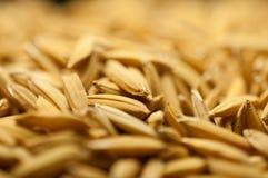 La fin vers le haut du riz non-décortiqué a pour ne pas écosser  Diffusion du riz de jasmin de paddy pour sécher au soleil la Tha Photo stock