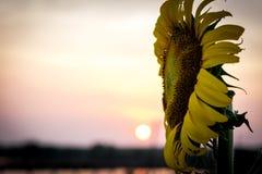 La fin vers le haut du tournesol est le coucher du soleil comme contexte Image stock