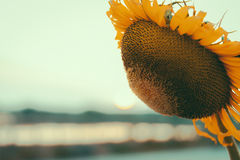 La fin vers le haut du tournesol est le coucher du soleil comme contexte Images libres de droits