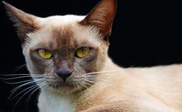 La fin a vers le haut isolé des yeux visage et tête d'or de chat birman Image stock
