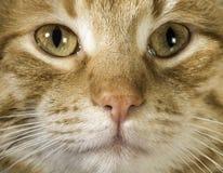 La fine arancio del gatto su osserva Fotografia Stock Libera da Diritti