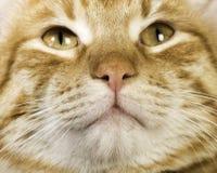 La fine arancio del gatto su osserva Fotografie Stock