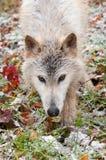 La fine bionda del lupo (canis lupus) su vaga in cerca di preda Immagine Stock