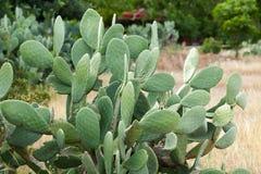 La fine del cactus dell'opunzia su Fotografia Stock