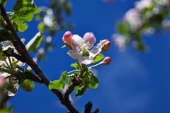la fine del fiore della mela fiorisce l'albero in su Fotografia Stock Libera da Diritti