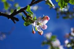 la fine del fiore della mela fiorisce l'albero in su Immagine Stock