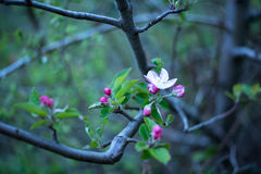 la fine del fiore della mela fiorisce l'albero in su Immagini Stock Libere da Diritti