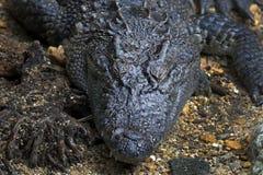 La fine del rettile del Crocodylidae del coccodrillo su si dirige Fotografie Stock Libere da Diritti