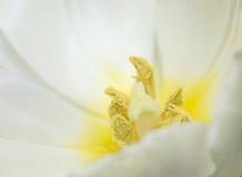 La fine del tulipano su. Fotografia Stock