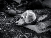 La fine di un cane innocente sul ritratto in bianco e nero immagine stock libera da diritti
