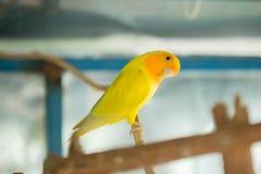 La fine gialla del pappagallo di pappagallino ondulato su si siede sul ramo di albero in gabbia fotografie stock
