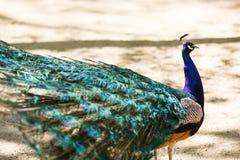 La fine maschio del pavone del bello uccello su canta la canzone Colpo fatto in nova di Askania del parco nazionale di prenotazio fotografia stock