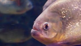 La fine rossa del piranha su stock footage