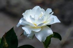 La fine soleggiata su di singolo floribunda bianco di atto della classe è aumentato testa fotografia stock libera da diritti