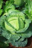 La fine su cavolo fresco verde lascia nel plantat di verdure organico Fotografia Stock Libera da Diritti
