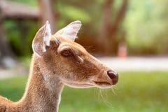 La fine su dei cervi del ` s di Eld dirige il colpo Fotografie Stock