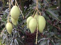 La fine su dei manghi verdi sta sviluppandosi sull'albero Fotografia Stock Libera da Diritti