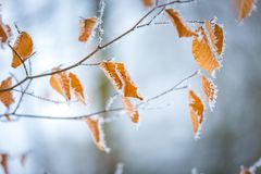 La fine su del faggio lascia con hoarfost nella foresta dell'inverno Immagini Stock Libere da Diritti
