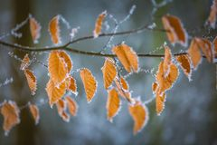 La fine su del faggio lascia con hoarfost nella foresta dell'inverno Fotografia Stock Libera da Diritti