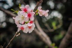 La fine su del fiore di ciliegia rosa Fotografie Stock