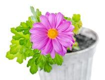 La fine su del fiore lilla del crisantemo della composizione è o isolata Immagine Stock Libera da Diritti