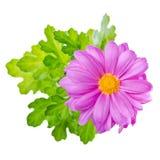 La fine su del fiore lilla del crisantemo della composizione è o isolata Fotografia Stock