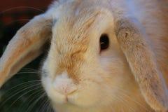 La fine su del nano pota il coniglio facendo uso dell'obiettivo macro Fotografia Stock Libera da Diritti