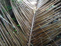 La fine su della noce di cocco secca lascia nel giardino Fotografia Stock