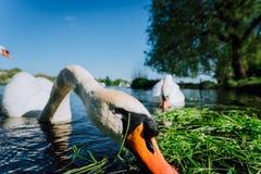 La fine su della testa bianca del cigno della tolleranza ha allungato verso la macchina fotografica di foto Lago Alster un giorno Fotografia Stock