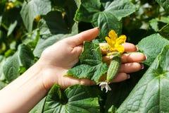 La fine su delle mani anziane della lavoratrice agricola controlla i cetrioli Concetto sano di agricoltura e di cibo fotografia stock