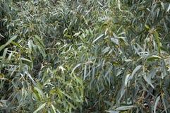 La fine su di giovane albero di eucalyptus lascia nel cespuglio australiano fotografia stock libera da diritti