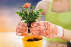 La fine su di piantatura della donna è aumentato al vaso di fiore fotografia stock libera da diritti